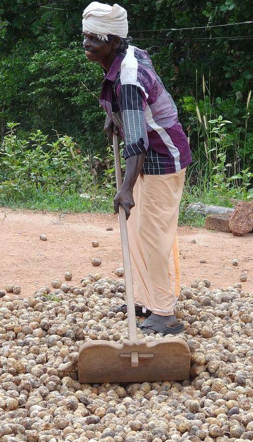 Amar beim Trocknen der Betelnüsse